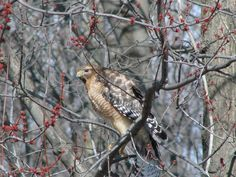 This hawk (I think) was in a tree across the street from our house.  This was taken from our front door by my husband.