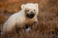 Baby polar bear with a dirty face! SO CUTE! At his home in a Scandinavian wildlife park.