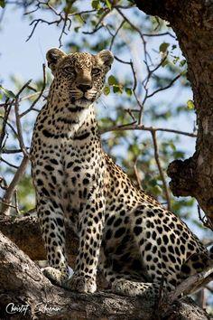 Leopard                                                                                                                                                                                 Mais