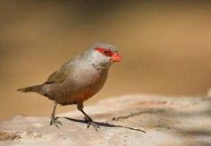 Common Waxbill {Estrilda astrild} - Information about the Common Waxbill, including photographs, fast facts, conservation status and general info. Mushroom Pictures, Bird Pictures, Animal Pictures, Nature Images, Nature Pictures, Sounds Of Birds, Small Insects, Animals Of The World, Beautiful Birds