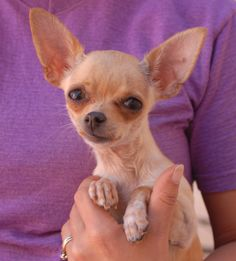 Pixie is the tiniest of angels, a 3-pound cutie, and she is debuting for adoption today at Nevada SPCA (www.nevadaspca.org).  She is a Chihuahua with mousy good looks, 18 months young and now spayed.  Pixie likes other gentle dogs and she is reportedly housetrained and crate-trained.  Her rescuers reported that she was sold for an alcoholic beverage and were concerned that she had experienced abuse and neglect.  We want Pixie to know what a very kind, stable, and responsible home feels like.