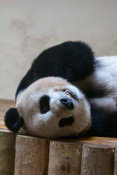 Upside down panda #pandas #pandalovers #animals