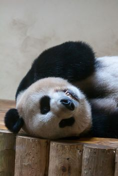 Upside down panda #pandas #pandalovers #animals