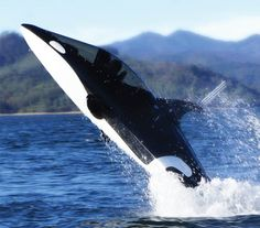 For $100,000, you can have your very own killer whale submarine!