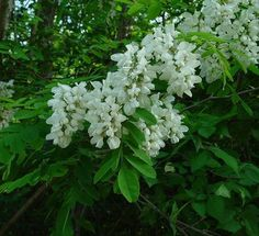 """Hungarian Acacia"" tree, aka ""Black Locust"" tree (Robinia pseudo-acacia)"