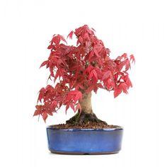 Bonsai Shohin Acer Palmatum Deshojo Erable Rouge du Japon www.sankaly-bonsai.com