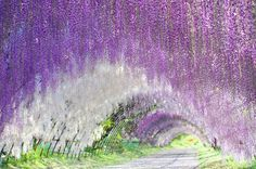 Kawachi Fuji Garden| Fukuoka, Japan  You can enter this garden only in the spring and autumn seasons. There is a wisteria trellis which is 80 yards and a wisteria tunnel that is 220 yards. The wisteria dome, wisteria trellis and mega wisteria trellis make up a total of 7314 yards squared. Around the garden, there are about 700 maple trees and 18 of those are 70-80 years old.