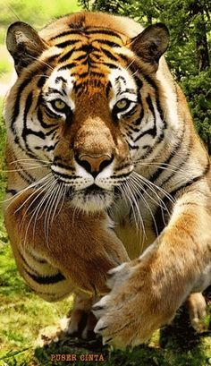 "Tiger: ""Coming Right at You!"""