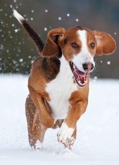 Deutsche Bracke, this dog breed originated from Westphalia, a region of Germany. Bloodhound, Hound Dog, Beagles, Girls Best Friend, Dog Breeds, Cute Animals, Puppies, Doggies, Germany
