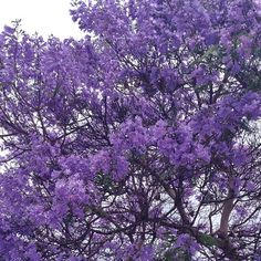 Jacaranda spring flowers