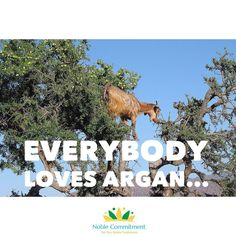 ...even the goats!  They also know that the Noble Argan Oil is the perfect solution to skin hair and nails. - #arganoil #argan #argan #morocco #goats #bodyoil #hair #haircare #skin #skincare #nails #nailscare #organic #natural #naturalhair #noble_commitment