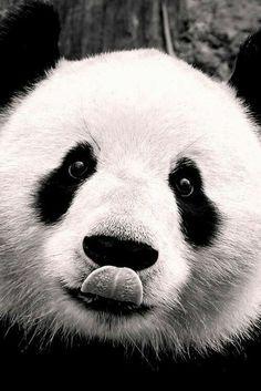 animals, black and white, cute, oso panda, zoo