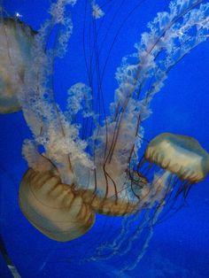 Jellyfish, Chicago VIII