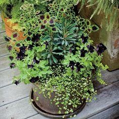 Eye-Catching Purple Pot | This mix of coleus, wire vine, euphorbia, lysimachia, and petunias creates a striking deep purple-and-chartreuse color palette. | SouthernLiving.com
