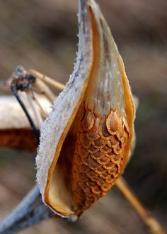Milkweed pod. I have always loved the pattern of milkweed seeds before they fluff out and float away. The pattern is very reminiscent of peacock body feathers, or fish scales. Beautiful!