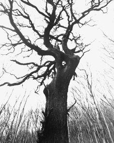 ron erwin smid ronsmidphoto on pinterest Ireland Churches ireland 2013 ilford delta 100 i found this lone oak