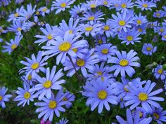 Felicia amelloides - Blue Marguerite,Felicia amelloides is a real eye-catcher. Striking sky-blue flowers with yellow centers stand high above the leaves. It's fast growing, needs little care, and blooms almost year round. True blue is a rare flower color