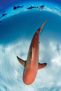 oceansoftheworld:  everydaysharks:Caribbean Reef Shark Source: Google  Caribbean reef shark