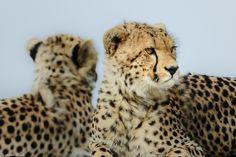 Two  cheetah siblings on the watch.