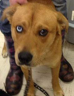 URGENT!!~~~~- BLUE IN GASSING SHELTER a Petfinder adoptable Labrador Retriever Dog | Downingtown, PA | 3088- Blue one-year-old male husky mix � one brown eye and one blue!
