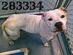 San Antonio, TX *Extremely Urgent! PTS anytime! *PAST DEADLINE! Needs Commitment by 9AM & Picked Up by 11AM Mon 2/17** To adopt, foster/ rescue email: placement@sanantoniopetsalive.org Charlotte 283334 has a heart of gold and so much love to give! She's V underweight and her owner did a home crop job on her ears. She's still such a sweet natured girl. 3 yr old AmStaff mix https://www.facebook.com/photo.php?fbid=431903503578840&set=a.431903440245513.1073742335.236899813079211&type=1&theater
