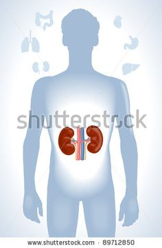 Set of human anatomy parts: liver, heart,  kidney, lung, stomach and esophagus by VLADGRIN, via ShutterStock