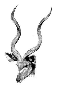 Kudu Drawing - Kudu by Scott Woyak