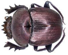 Kheper aegyptiorum