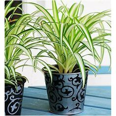 What if rejuvenating your life was as simple as moving a few things around? According to the ancient Chinese art of feng shui, it is.    Based on the idea that your living space reflects your life, feng shui strives to achieve balance in both.    [image]   View Details   Buy Lucky plants   Browse all Indoor plants >>   Feng shui holds that all objects possess an energy called ' chi ', and that you can use this chi to bring luck, wealth, and opportunity into your home.    Bring the Outdoors In... Buy Plants, Cool Plants, Green Plants, Airplane Plant, Lucky Plant, Chlorophytum, Best Indoor Plants, Plant Lighting, Plastic Planter