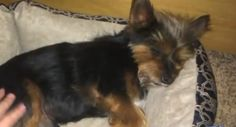 """1/18/17 💔💔 RIP LOVE💔💔 Residents in a Canyon Lake, California, neighborhood are outraged after a family's small dog was shot in his owner's backyard. According to KTLA News, the Yorkshire terrier, named """"Deuce,"""" sustained injuries on Saturday night which proved to be fatal. Deuce belonged to theKerker family, who suspects that one of their neighbors is behind the cruel …"""