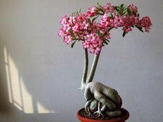 Great example of Adenium obesum, aka Desert Rose.