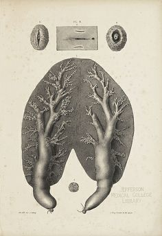 'On the Anatomy of the Breast' 1840, by Sir Astley Paston Cooper: 'The Mammary Gland of the Porpoise'