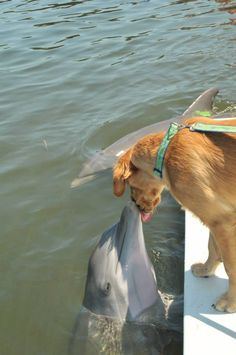 Kisses. Golden Retriever! ♥ Dolphin
