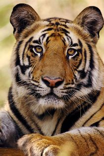"""Portrait of 19 month old male Bengal Tiger (Panthera tigris tigris)."" Photography by Lonely Planet Images buy now as poster, art print and greeting card.."