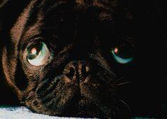 Our little Pug...meet BillyBob.