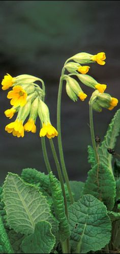 Cowslip Herb with medicinal qualities Medicinal Herbs, Flora And Fauna, Health Benefits, Medicine, Garden, Bud, Natural Remedies, Spring, Buttons