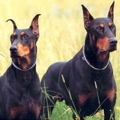 Try and tell me Dobermans aren't one of the best looking breeds out there? <3