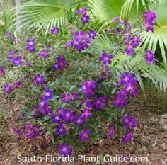 Irresistably pretty dwarf tibouchina thrives in - and adds a punch of color to - partly shaded beds. Read all about it!