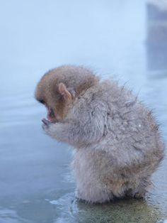 Baby snow monkey - if his back is this cute, I can't wait to see his adorable little face! kn