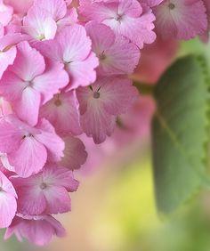 All Things Shabby and Beautiful, Search results for: Hydrangea Hortensia Hydrangea, Hydrangea Garden, Pink Hydrangea, Hydrangeas, Flowers Nature, Pretty In Pink, Pink Flowers, Beautiful Flowers, Rooting Hydrangea Cuttings