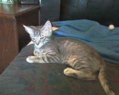 George is an 11 week old short-haired grey tabby male kitten. George is a bit of a Mama's boy and looks very much like his sister Rosie who he loves to cuddle and play with.  George would love to be adopted to a home with his sister Rose or other...