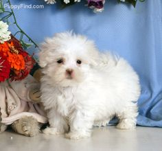 Maltese Pictures