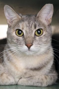 Domestic Short Hair named Santana is available for adoption at Best Friends Sanctuary in Kanab, Utah | Best Friends Animal Society