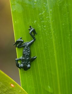 One of the many species of amphibians endemic to the tepuis, the Roraima black frog (Oreophrynella quelchii) is restricted to the summit of two tepuis, Mount Roraima and Wei-Assipo-Tepui  Charles Besancon