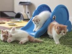 Kittens slip and slide on a new friend. #Animals
