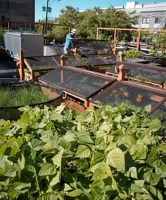 toured the Seattle Urban Farm Company's rooftop garden at Bastille- really cool!
