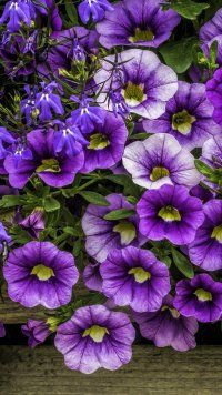 Earth Petunia Flowers Mobile Wallpaper Petunia Flower Flower Wallpaper Flower Garden