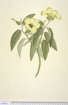 pecies:Hibiscus Normanii Family:Malvaceae Authority:F. Mueller, Fragm. 3: 4 (1862)   Country:Australia Place:Endeavour River   Artist:Daniel Mackenzie Format:Coloured Engraving Medium:Ink And Watercolours On Paper Dimensions:540 x 365/305 mm Collection:A.0001./.0025./.0005 Specimen:2 sheets, Cape Grafton, Endeavour River Notes Recto:[ink] 'Fred.k Polydore Nodder. Pinx.t 1778'