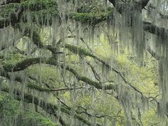 Live Oak Tree, Quercus Virginiana, Draped with Spanish Moss, Tillandsia Usneoides, Southern USA Photographic Print by Adam Jones at AllPosters.com