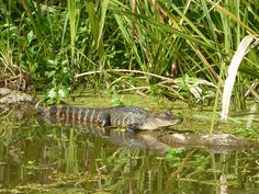 Alligators were in short supply. It was too cold for them; they remained in the water until the sun came out.
